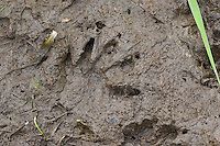 Waschbär, Spur, Trittsiegel, Fußabdruck im Schlamm, Procyon lotor, common raccoon