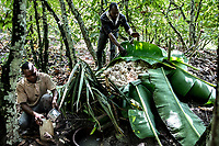Cocoa farm labourers at Lucien Kro camp wrap the seeds in banana leaves to facilitate fermentation. The sweet juice obtained is collected and will be drunk.