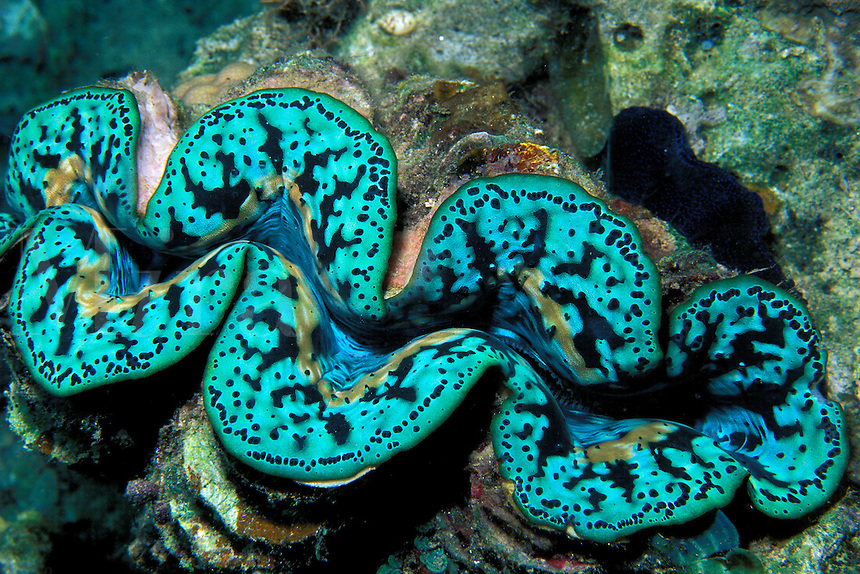 Giant clam, Tridachna sp., Fiji, Pacific Ocean