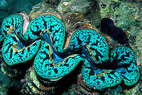 Giant clam, Tridachna sp., Fiji, Pacific Ocean