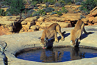 COUGAR/MOUNTAIN LION/PUMA..Male and female drinking from pool filled with rain water..Near Canyonlands National Park, Utah. Autumn. (Felis concolor).