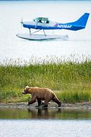 Floatplane lands on Brooks Lake near a brown bear (grizzly bear) , Katmai National Park, Alaska, Ursus arctos middendorffi, Alaska, USA