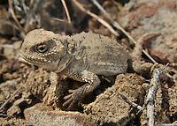 A Pygmy Short Horned Lizard in Washington State.