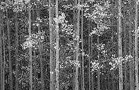 "Aspens near Silver Jack Reservoir.  I tried to make the color version ""work,"" but it wasn't until I converted it to black and white that it began to reflect the impression of light that I remembered.<br /> <br /> Canon EOS 5D, 24-105L lens"