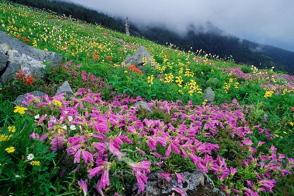 Wildflowers in subalpine meadow of southern Cascade Mountains, WA.  June.