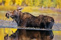 Cow Moose (Alces alces) feeding, Western U.S.