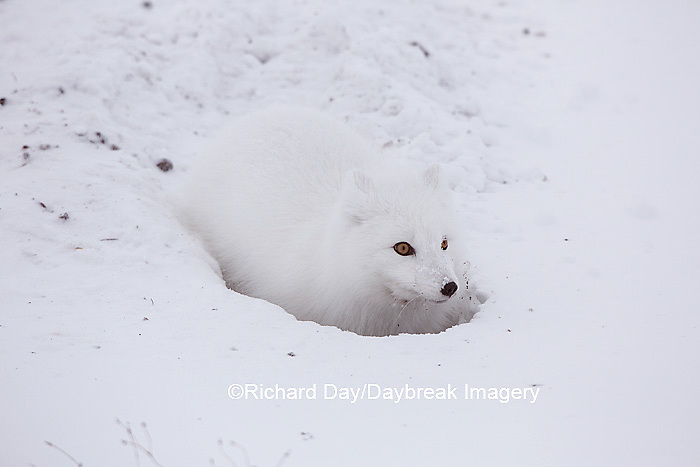 01863-01717 Arctic Fox (Alopex lagopus) at food cache, Cape Churchill, Wapusk National Park, Churchill, MB Canada