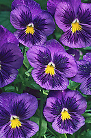 Violet Pansy flowers, Moorestown, New Jersey