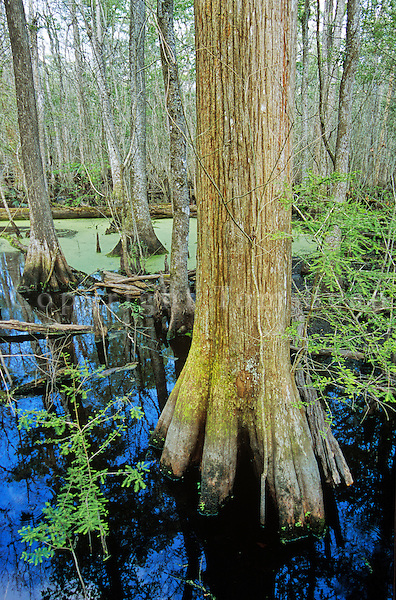 Francis Beidler Forest with bald cypress in Four Holes Swamp, a riverine swamp, west of Charleston, South Carolina, AGPix_0648..