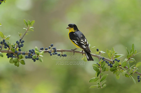 Lesser Goldfinch (Carduelis psaltria), adult male perched on Elbow bush (Forestiera pubescens) with berries, Hill Country, Texas, USA
