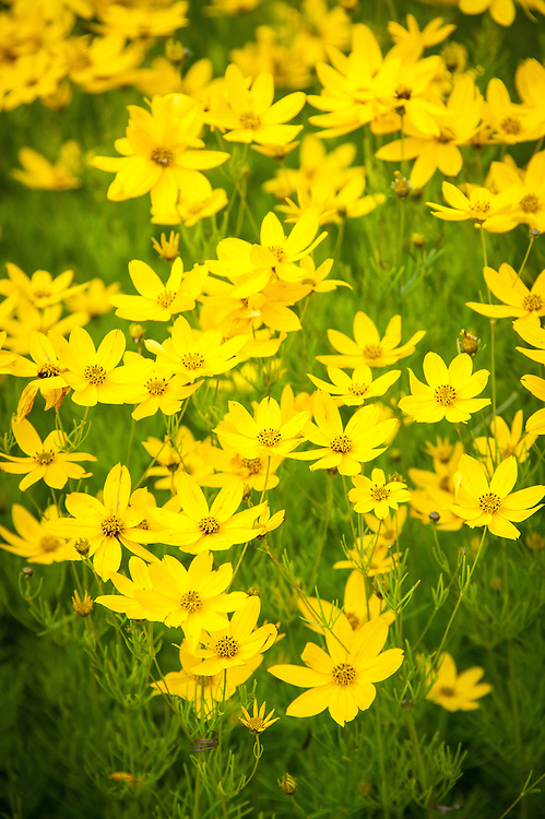 Coreopsis verticillata 'Zagreb', mid July. Commonly known as tickseed.