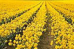 Daffodil fields, Fidaigo Island, WA.