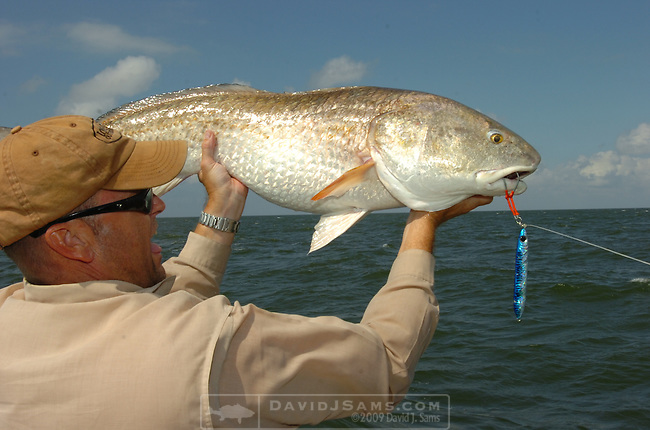 OFFSHORE FISHING.bull red drum shown with a bomber gigging spoon..Venice, Louisiana