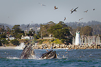 One of the most amazing natural wonders I've ever seen. For the past week, these humpbacks have made a rare appearance right outside the harbor in Santa Cruz, following their favorite food into Monterey Bay. We stayed well beyond the required 100 yard perimeter and were still lucky enough to get these photos. Unforgettable!