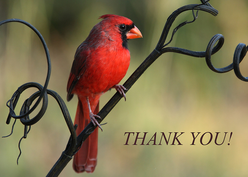 Cardinal thank you card.