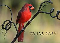Cardinal thank you card.