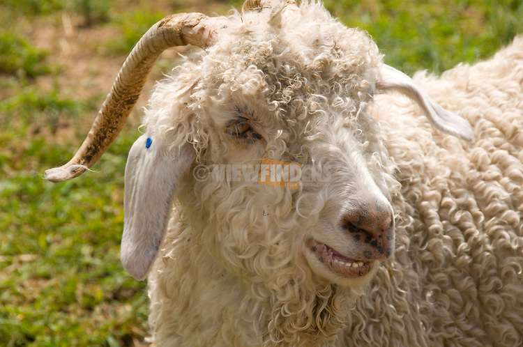 Sheep face close-up
