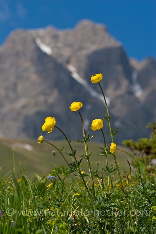 Europäische Trollblume, Troll-Blume, Trollius europaeus, European Globeflower, Globe Flower, Trolle d´Europe