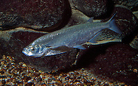 Ziege, Sichling, Sichelfisch, Pelecus cultratus, ziege, chekhon, sabre carp, sichel, Razor fish