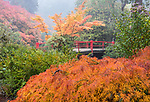 Kubota Garden, Seattle, WA: Fall colored branches of a lace-leafed Japanese maple with Heart Bridge in the background