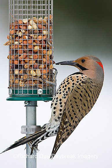 01193-015.05 Northern Flicker (Colaptes auratus) male on peanut feeder, Marion Co. IL