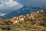 A flock of Guanaco graze on the green hillside in Del Paine in Patagonia, Chile.