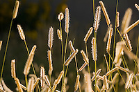 Seed head stalks of Blue grama grass - Bouteloua gracilis