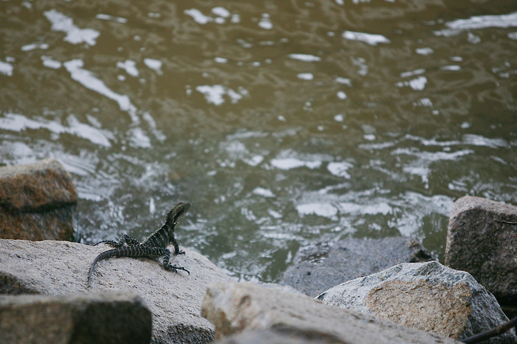 Water dragon looks out over the Brisbane River, Brisbane, Queensland, Australia, Wednesday, January 25, 2012. (Photo by John Pryke)