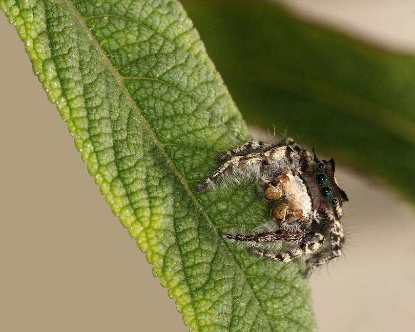 Jumping Spider (Salticids)