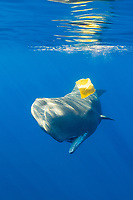 Sperm Whale plays with Plastic Waste, Physeter macrocephalus, Azores, Atlantic Ocean, Portugal