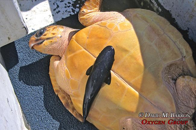 Loggerhead Turtle W/ Remora