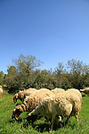 Israel, Shephelah, Sheep and Goats in Haruvit forest