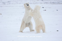 01874-11901 Polar Bears (Ursus maritimus) sparring / fighting in snow, Churchill Wildlife Management Area, Churchill, MB Canada