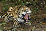 A crouched and aggressive Jaguar with open mouth, showing its sharp teeth  (Panthera onca), Belize