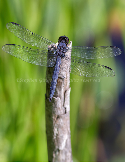 A slaty skimmer dragonfly rest on a snag in Poor Farm Swamp.