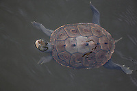 Diamondback Terrapin; Malaclemys terrapin; swiming in salt marsh gut; NJ, The Glades Wildlife Refuge
