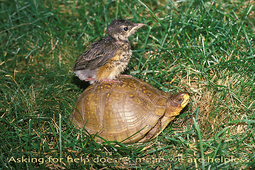 Robin fledgling rids on the back of a three-toed box turtle through grass on the back lawn