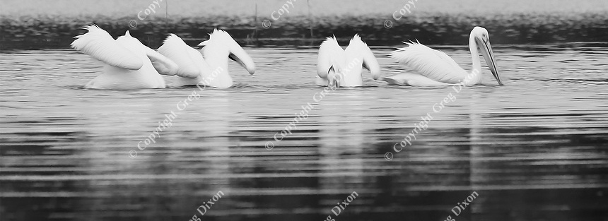 """""""Four Pelicans""""  Yellowstone National Park  Pelican Creek 