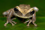Common Laughing Frog, Osteocephalus taurinus, arboreal, nocturnal, on leaf in jungle, Iquitos, Northern Peru, . .South America....