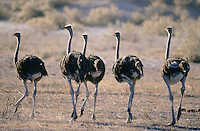 Ostriches are a common sight in many parts of Botswana but they are shy birds and it is not easy to get close to them. Once they start to run, they can go at amazing apeeds.