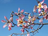 Stock image, Floss silk flowers branch against blue sky.