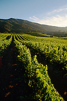 GRAPE VINE rows recede into the hills, late afternoon light - JOULLIAN VINEYARDS - CARMEL VALLEY, CALIFORNIA