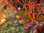 Siaes Tunnel, Palau -- Purple anthias among corals.