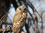 Pearl-spotted owlet in a tree thickiet in Namibia.  They have false eyes on the back side of their head.