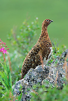 Willow Ptarmigan in late summer plumage, Denali National Park, Alaska