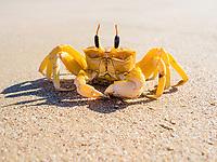 Ghost crab (Ocypode) on sandy beach, Ash Sharqiyah South, Oman, Asia