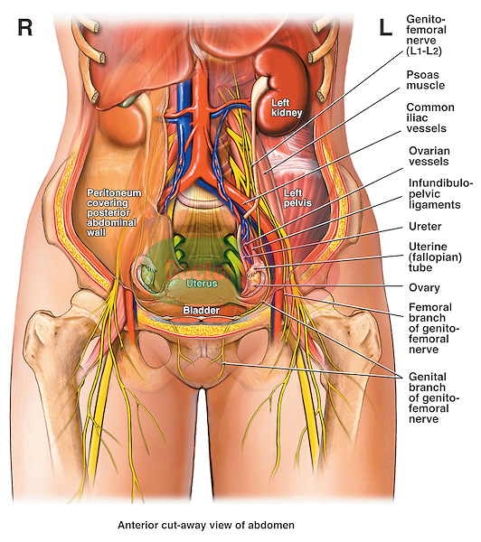 abdomen and pelvis - female | doctor stock, Muscles