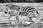 An adult zebra and its foal stand in the dirt.