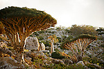 .Dragon's blood tree (dracanea cinnabari) and Cucumber tree (Dendrosicyos) near Omhill. Two endemic species. Socotra island. Yemen