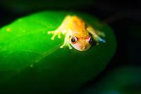 Frog in the Amazon Rainforest at night, Sacha Lodge, Coca, Ecuador, South America